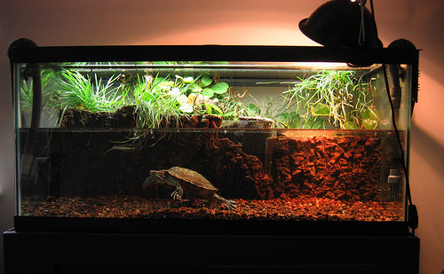 red eared turtle red eared slider